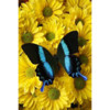 Logo Blue Butterfly Cleaning Services