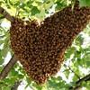 Logo Honeybees Swarming around your Place