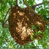 Logo Free honey bee swarm removal, prompt service!