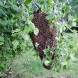 Bee Swarm removal, Bee Removals, Bee Help