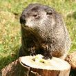 Cardinal Stump Grinding. Groundhog says Stump Season is here!