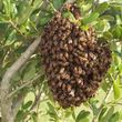Honeybees Swarming around your Place
