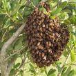 Photo #2: Honeybees Swarming around your Place