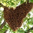 Photo #1: Honeybees Swarming around your Place