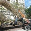 Tree transplanting, Tree moving, Tree relocating, Trees for sale