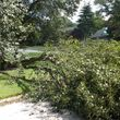 FALLEN / DOWNED TREES & LIMBS CUT UP & REMOVED