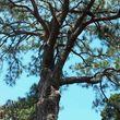 Treeman David