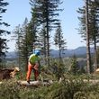 Photo #4: Skilled Logging and Timber Management